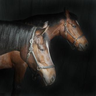 Equine Portrait East Yorkshire England