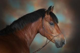 Philip Robinson Equine Studio Portrait Photography 0005
