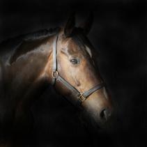 Philip Robinson Equine Studio Portrait Photography 0008
