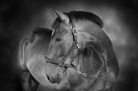 Philip Robinson Equine Studio Portrait Photography 0011